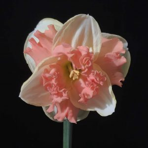 Single Stem Daffodil